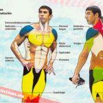 Músculos implicados en la natación!