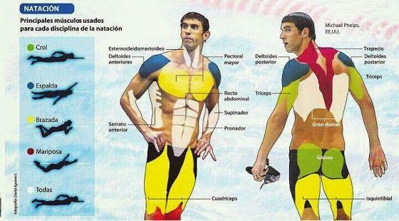 Musculos implicados en la natación